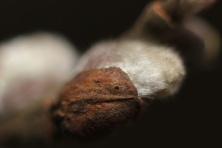 Pumpuras–Akytė